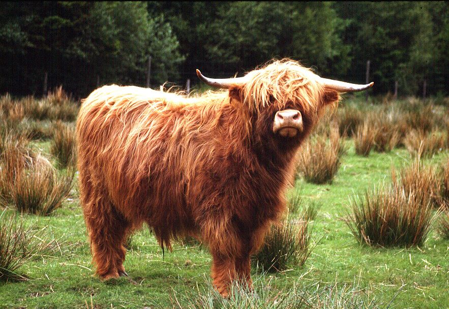 highland_cattle_schottland.jpg
